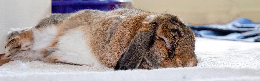 Gründe, Ihr Kaninchen zu kastrieren